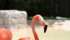 Animal Photography - Flamingo