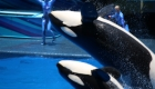 Animal Photography - Killer Whale